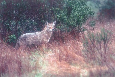 Canis latrans (coyote, to you)